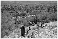 Desert hillsides covered by brittlebush in bloom, Rincon Mountain District. Saguaro National Park ( black and white)