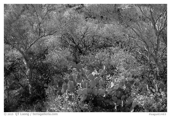 Close-up of desert plants with sun in the spring, Rincon Mountain District. Saguaro National Park (black and white)