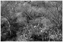 Close-up of desert plants with sun in the spring, Rincon Mountain District. Saguaro National Park ( black and white)