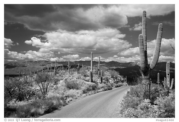 Cactus forest Loop Drive. Saguaro National Park (black and white)