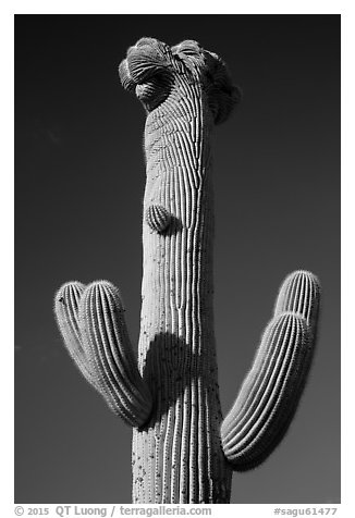 Crested Saguaro cactus top. Saguaro National Park (black and white)