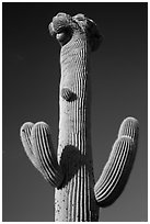Crested Saguaro cactus top. Saguaro National Park ( black and white)
