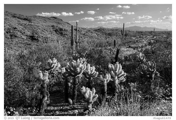 Desert in spring with cholla cactus, Rincon Mountain District. Saguaro National Park (black and white)