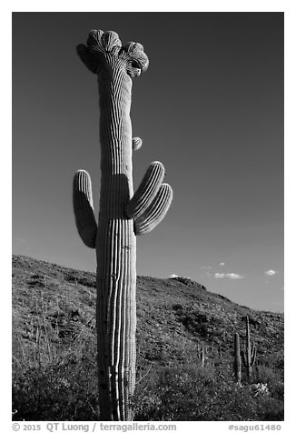 Crested Saguaro cactus, Rincon Mountain District. Saguaro National Park (black and white)