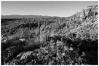 Sonoran desert in bloom, Rincon Mountain District. Saguaro National Park ( black and white)