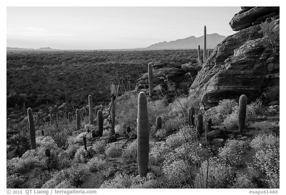 Last light on blooming brittlebush, cactus, and rocky outcrop. Saguaro National Park (black and white)