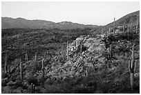Last light on Sonoran desert, Rincon Mountain District. Saguaro National Park ( black and white)