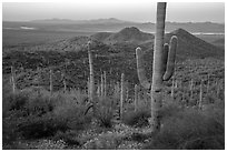 Saguaro cactus forest in the spring from hillside at dawn. Saguaro National Park ( black and white)