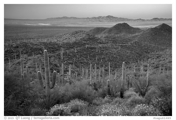Saguaro cactus forest and Red Hills at sunrise. Saguaro National Park (black and white)