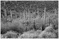 Brittlebush flowers, ocotillo and dense cactus forest. Saguaro National Park ( black and white)