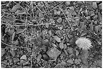 Ground close-up with blooming flowers and fallen cholla cactus. Saguaro National Park ( black and white)