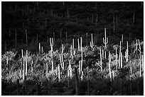 Spotlight on group of saguaro cacti. Saguaro National Park ( black and white)