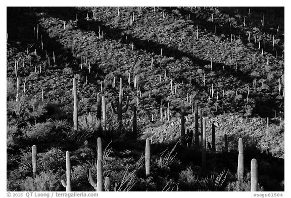 Shadows delineating ridges with saguaro cactus. Saguaro National Park (black and white)