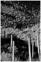 Ridges, shadows, and saguaro cacti. Saguaro National Park ( black and white)
