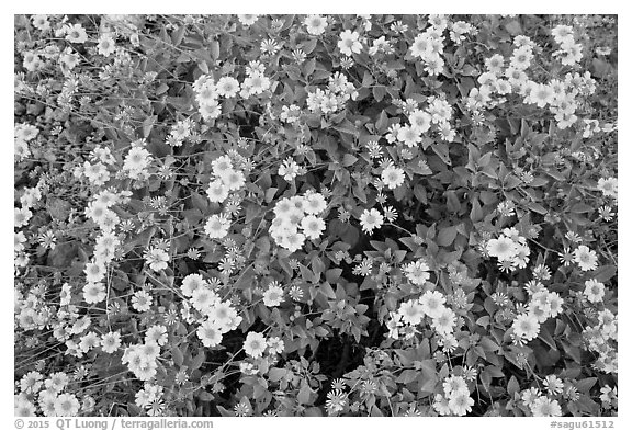 Close-up of brittlebush in bloom. Saguaro National Park (black and white)