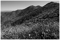 Annual wildflowers and Amole Peak. Saguaro National Park ( black and white)