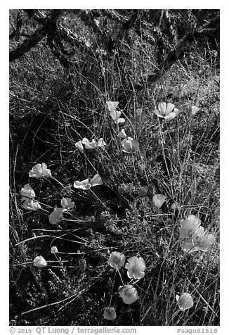 Close-up of poppies and cactus. Saguaro National Park (black and white)