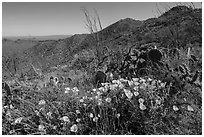Poppies, cactus, Amole and Wasson Peaks. Saguaro National Park ( black and white)