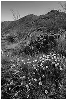 Poppies, cactus, and Tucson Mountains. Saguaro National Park ( black and white)