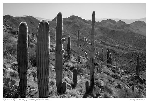 Cactus and Tucson Mountains. Saguaro National Park (black and white)