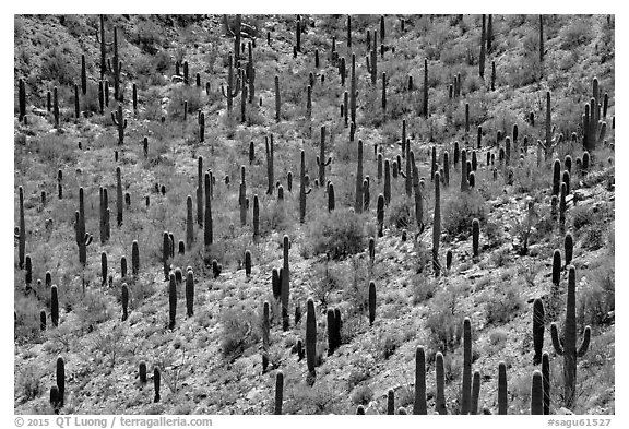 Dense saguaro forest, mid-day. Saguaro National Park (black and white)