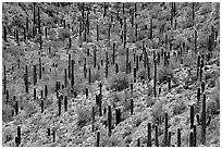 Dense saguaro forest, mid-day. Saguaro National Park ( black and white)