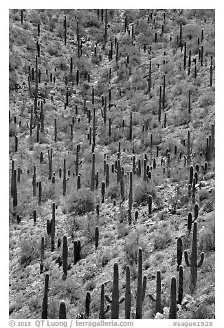 Dense saguaro cactus forest. Saguaro National Park (black and white)
