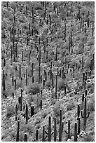 Dense saguaro cactus forest. Saguaro National Park ( black and white)