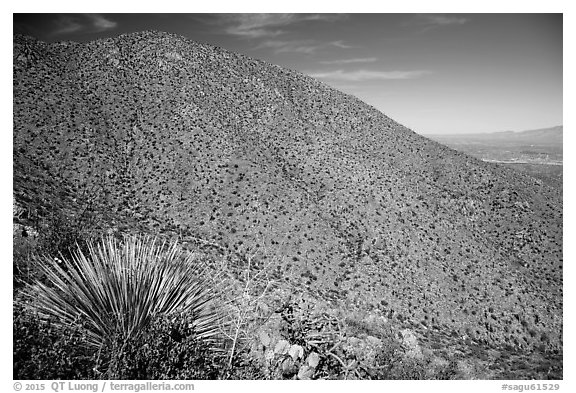 Wasson Peak. Saguaro National Park (black and white)