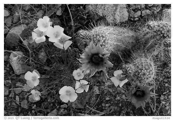Close-up of hedgehodge cactus in bloom and poppies. Saguaro National Park (black and white)