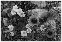 Close-up of hedgehodge cactus in bloom and poppies. Saguaro National Park ( black and white)