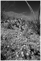 Blooming poppies, cacti, ocotillo, and peak. Saguaro National Park ( black and white)