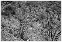 Ocotillo and desert floor carpeted with annual flowers. Saguaro National Park ( black and white)