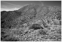 Wildflower carpet and Tucson mountains. Saguaro National Park ( black and white)