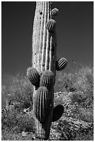Saguaro cactus with many short arms. Saguaro National Park ( black and white)