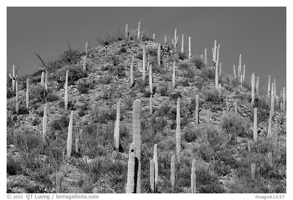 Hill with saguaro cacti in the spring. Saguaro National Park (black and white)