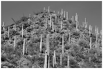 Hill with saguaro cacti in the spring. Saguaro National Park ( black and white)