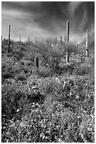 Brittlebush and saguaro on slope. Saguaro National Park ( black and white)