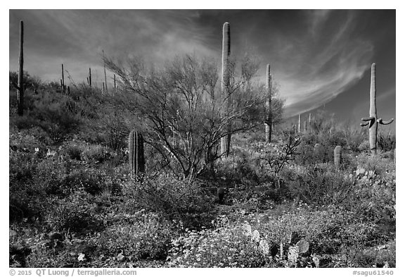 Cacti on slope carpetted with springtime blooms. Saguaro National Park (black and white)