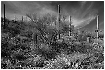 Cacti on slope carpetted with springtime blooms. Saguaro National Park ( black and white)