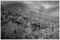 Verdant desert slopes leading to Wasson Peak. Saguaro National Park ( black and white)