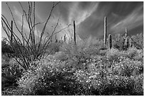 Brittlebush, saguaro, and clouds. Saguaro National Park ( black and white)