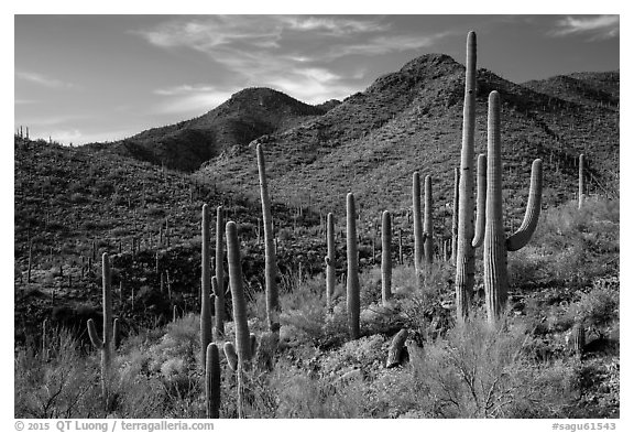 Cactus forest and rocky desert mountains. Saguaro National Park (black and white)