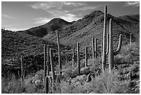Cactus forest and rocky desert mountains. Saguaro National Park ( black and white)