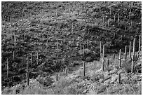Wash and slopes with cactus and brittlebush. Saguaro National Park ( black and white)