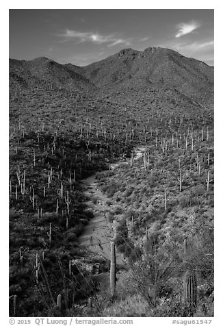 Wash surrouned by innumerable cacti, and Wasson Peak. Saguaro National Park (black and white)