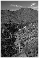 Wash surrouned by innumerable cacti, and Wasson Peak. Saguaro National Park ( black and white)