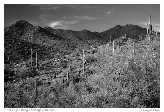 Palo Verde, cacti, and Wasson Peak. Saguaro National Park (black and white)