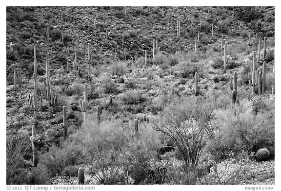 Wash and slopes with ocotillo, cacti, and brittlebush. Saguaro National Park (black and white)