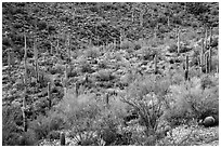 Wash and slopes with ocotillo, cacti, and brittlebush. Saguaro National Park ( black and white)